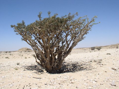 Frankincense tree, Boswellia sacra (photo from Wikimedia Commons)