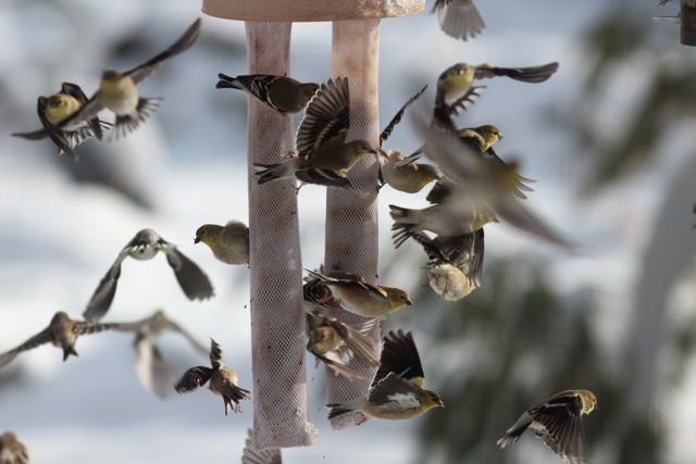 American goldfinches at the feeder (photo by Marcy Cunkelman)