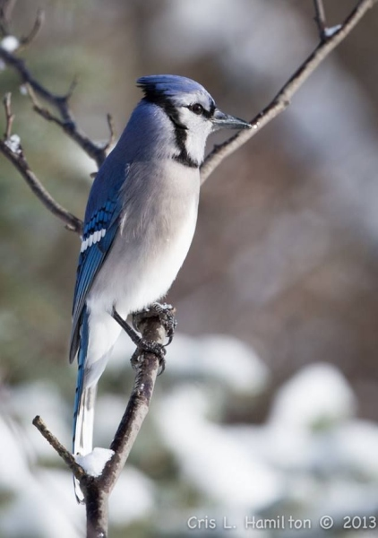 Blue jay in winter (photo by Cris Hamilton)
