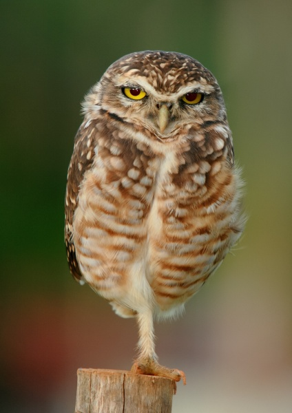 Burrowing owl near Goiânia, Goiás, Brazil, standing on one leg (photo from Wikimedia Commons)
