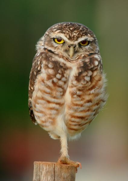 Burrowing owl near Goiânia, Goiás, Brazil, standing on one leg (photo from Wikimedia Commons)