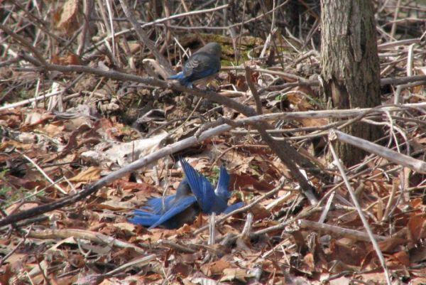 Eastern bluebird fight (photo by Karen DeSantis)