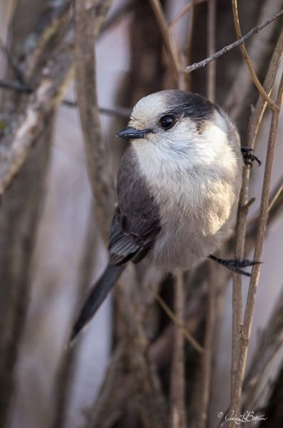 Gray jay in Minnesota (photo by Jessica Botzan)