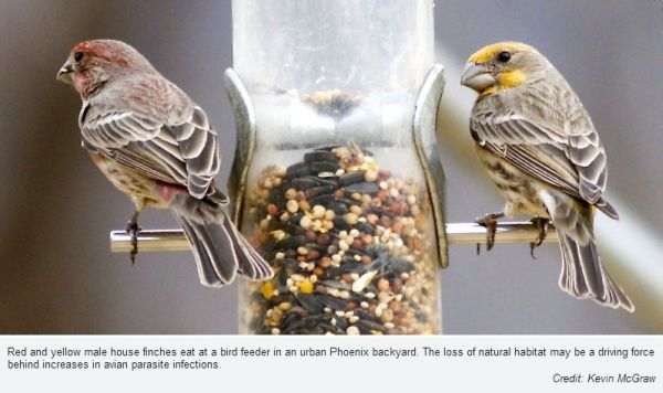 House finches in Phoenix, Arizona (photo by Kevin McGraw, Arizona State University)