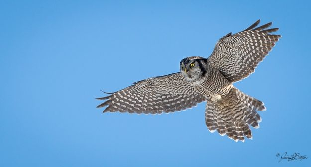 Northern hawk owl (photo by Jessica Botzan)