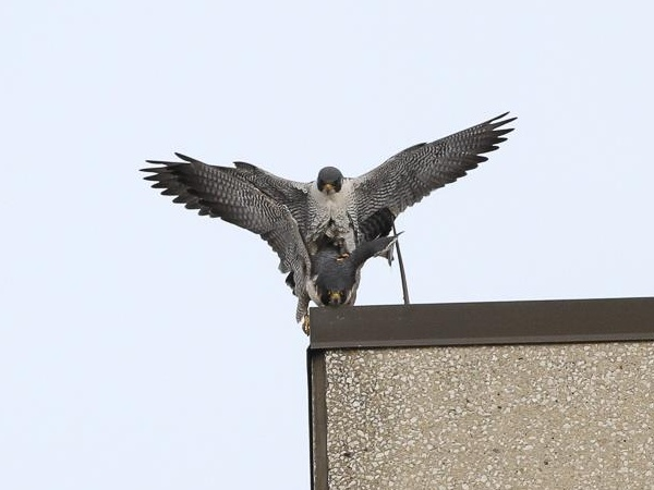 Peregrines, Titan and GG, mating in Lakewood, OH (photo by Chad+Chris Saladin)