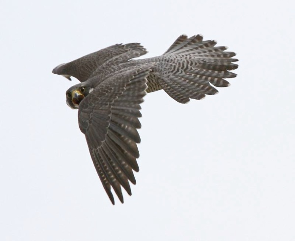 Peregrine shouting in flight (photo by Chad+Chris Saladin)