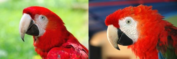Faces of green-winged and scarlet macaws (photos from Wikmedia Commons)