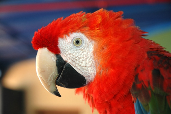 Scarlet macaw (photo from Wikimedia Commons)
