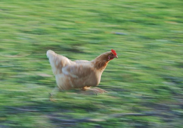 Chicken running fast (photo from Wikimedia Commons)