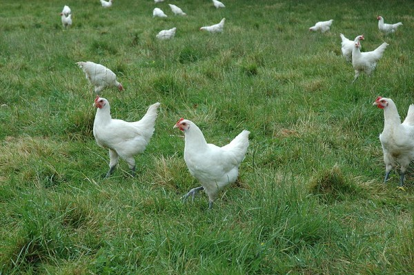 Bresse chickens (photo from Wikimedia Commons)