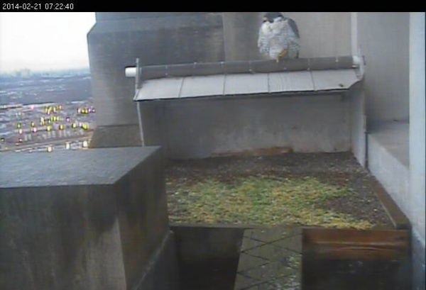 Dori at the Gulf Tower nest, 21 Feb 2014 (photo from the National Aviary falconcam at the Gulf Tower, Pittsburgh)