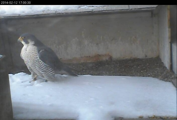 Peregrine at teh Gulf Tower nest, 12 Feb 2014