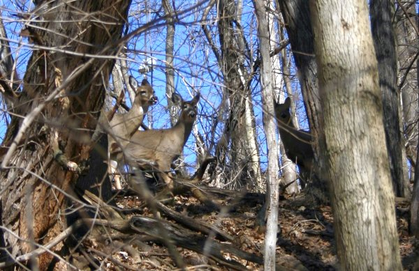 Deer in Schenley Park, 22 Feb 2014 (photo by Kate St. John)