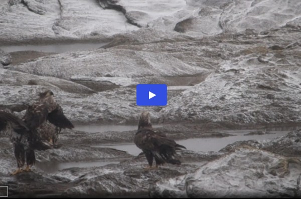 Link to video of bald eagles at Safe Harbor Dam by Meredith Lombard