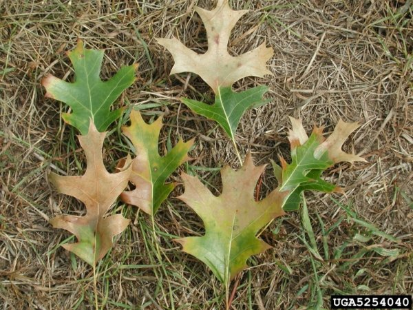 Oak leaves showing oak wilt (Joseph O'Brien, USDA Forest Service, Bugwood.org)