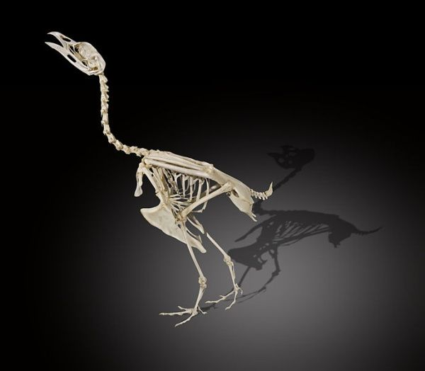 Skeleton of wood grouse, Museum of Toulouse (photo from Wikimedia Commons)