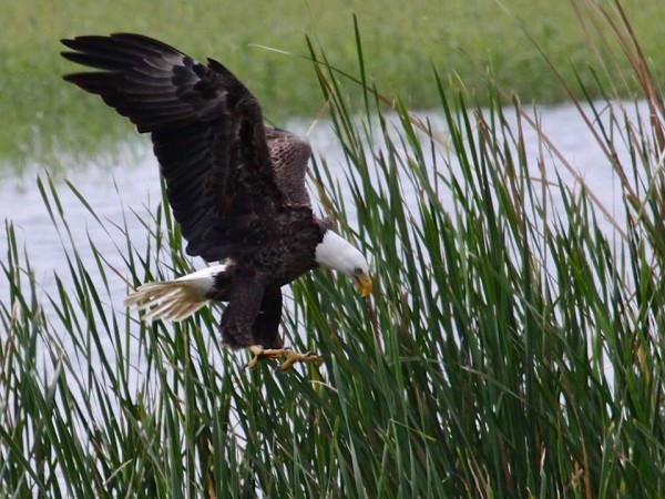 Bald eagle on the hunt in Florida (photo by Chuck Tague)