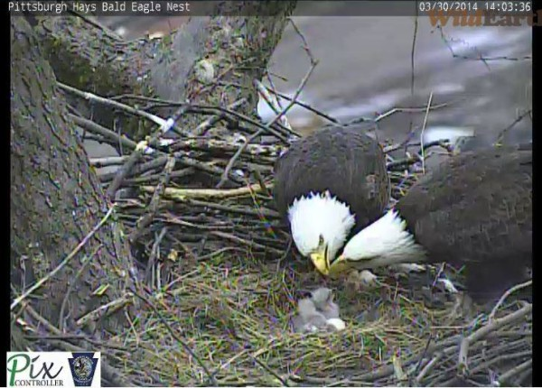 Pittsburgh's Hays Bald Eagle family, 30 March 2014, 2 parents, 2 chicks, 1 remaining egg (photo from the Hays eaglecam)