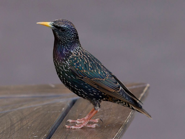 European starling in Toulouse, France (photo from Wikimedia Commons, CC BY-SA 3.0)