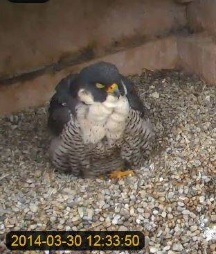 Dorothy the day after egg-bound, 30 March 2014 expelled (from the National Aviary falconcam at Univ of Pittsburgh)
