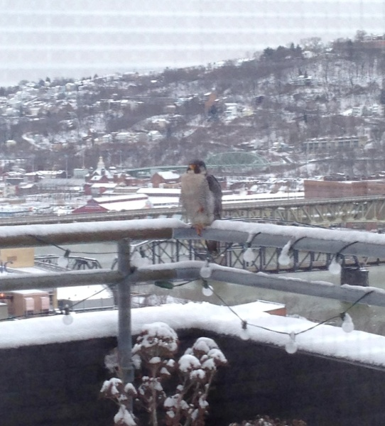 Peregrine visitor to Point Park'sLawrence Hall (photo by Amanda McGuire)