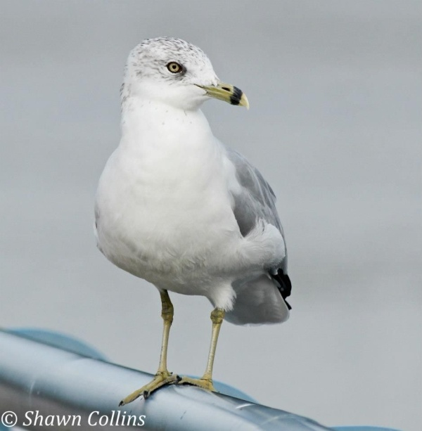 Ring-billed gull in basic plumage (photo by Shawn Collins)