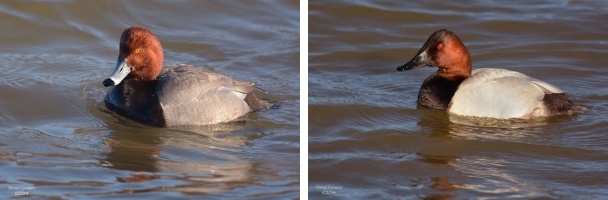 Comparison, redhead and canvasback (photos bySteve Gosser)