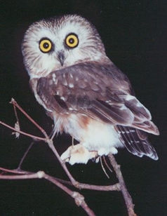 Saw-whet owl from PSO 2014 flier (photo by Sandy Lockerman)