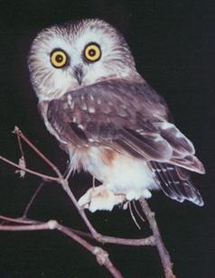 Saw-whet owl from PSO 2014 flier (photo by Sandy Lockerman)