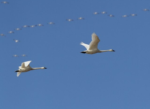 Tundra swans at Middle Creek (photo by Dave Kerr)