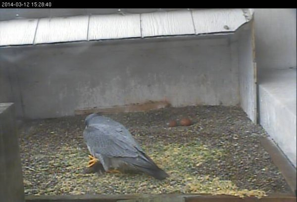 Louie brings food for Dori after she laid her second egg (photo from the National Aviary falconcam at Gulf Tower)