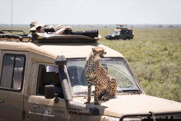 Cheetah on van hood, Tanzania 2014 (photo by Cris Hamilton)