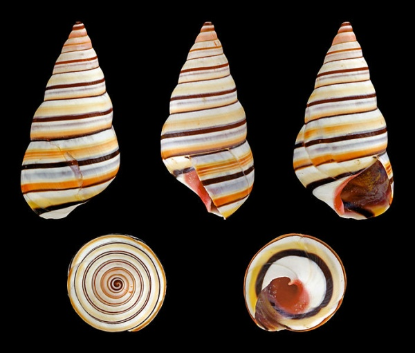 Shell, Liguus virgineus (photo by H. Zell, Wikimedia Commons)