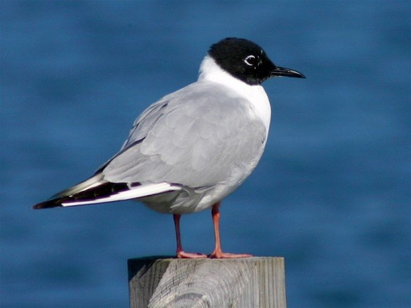 Bonaparte's gull in breeding plumage (photo by Chuck Tague)