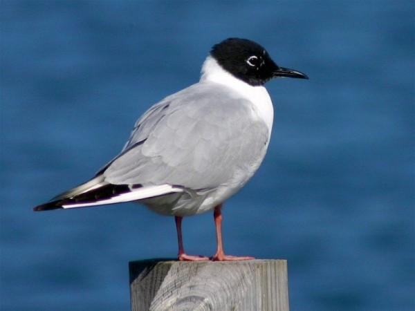 Bonaparte's gull in breeding plumage (photo by Chuck Tague)