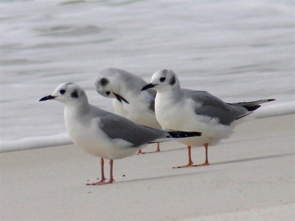 Bonaparte's gulls loafin on the beach in Florida (photo by Chuck Tague)
