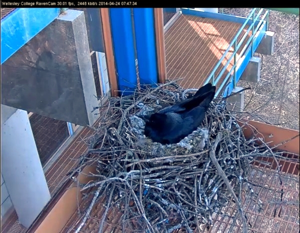 Raven on nest at Wellesley College (screenshot from Wellesley College ravencam)