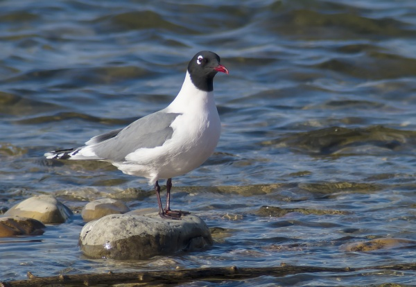 Franklin's gull (photo by Daniel Arndt)