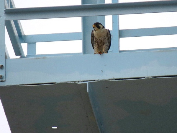 Peregrine at Green Tree water tower, 1 April 2014 (photo by Leslie Ferree)