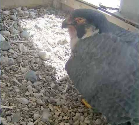 Belle with injuries from fight, Univ of Toledo bell tower, 11 April 2014 (photo from Univ.Toledo falconcam)