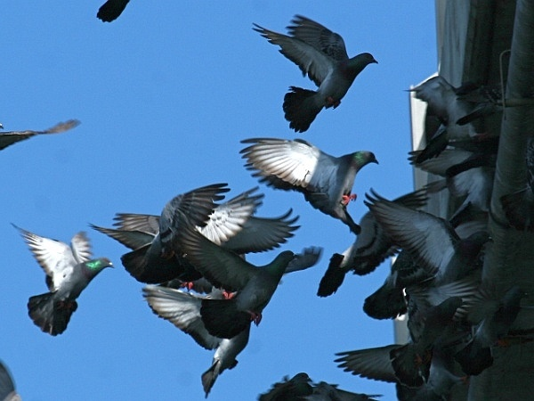 Rock pigeon flock (photo by Chuck Tague)