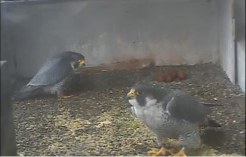 Dori and Louie take turns at the nest on the Gulf Tower (photo from the National Aviary falconcam at Gulf Tower)