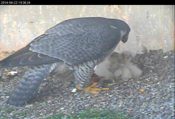 Dori and five chicks, 23 April 2014 (photo from the National Aviary falconcam at Gulf Tower)