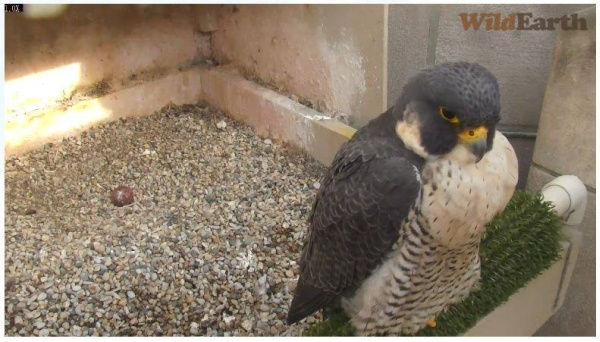 Dorothy with one old egg, 3 April 2014 (photo from the National Aviary falconcam at Univ of Pittsburgh)