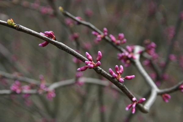 Redbuds in bud, 18 April 2014 (photo by Kate St. John)
