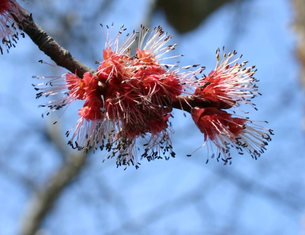 Red maple flowers, 10 April 2014 (photo by Kate St. John)