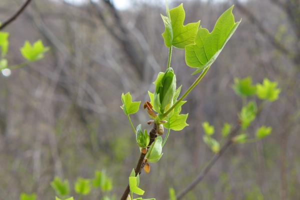 Tulip tree leaves unfurling, 28 April 2014 (photo by Kate St. John)