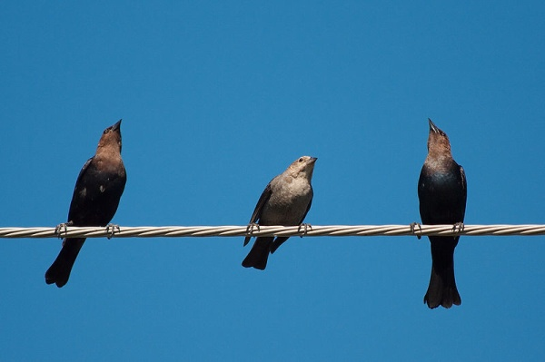 Trio of brown-headed cowbirds (photo by Dori from Wikimedia Commons)