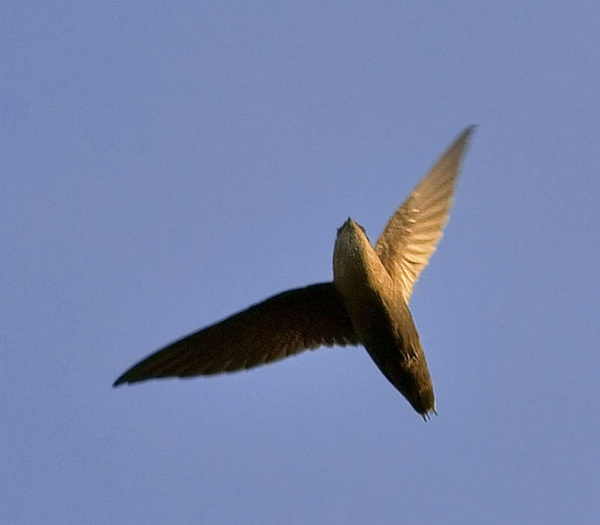 Chimney swift flying in Austin, Texas (photo by Jim McCullough, Creative Commons license, Wikimedia Commons)
